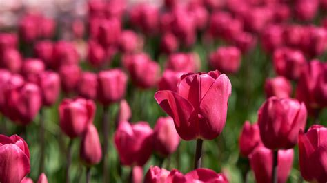 wallpaper red tulips blossom bloom hd  flowers