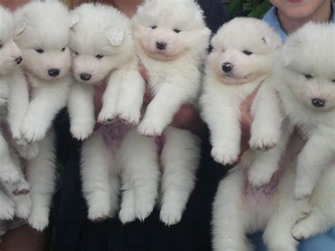 Simoid Dogs Samoyed Puppies Beautiful Samoyed Puppies