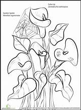 Lily Coloring Calla Pages Lilies Flowers Spider Flower Sheets Lilly Printable Drawing Colouring Worksheet Drawings Monet Boyama Desen Sheet Getcolorings sketch template