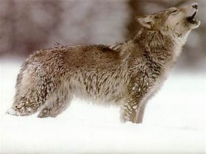 Wolf Wallpapers. Images and animals Wolf pictures (736)