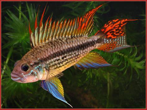 poisson d eau douce l apistogramma cacatuoides petit cichlid 233 flamboyant animogen