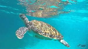 schwimmen mit schildkröten auf barbados aidadiva karibik