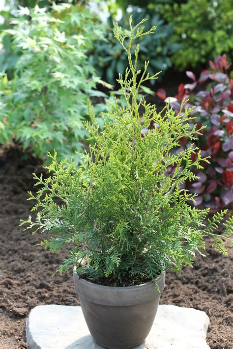 thuja occidentalis brabant thuja occidentalis king of brabant bcm baumschule christoph marken