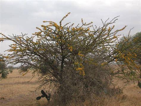 Acacia farnesiana - fotos