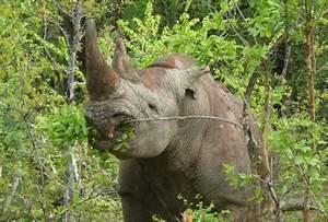 The Black Rhino: Food & Predator - Sean's site