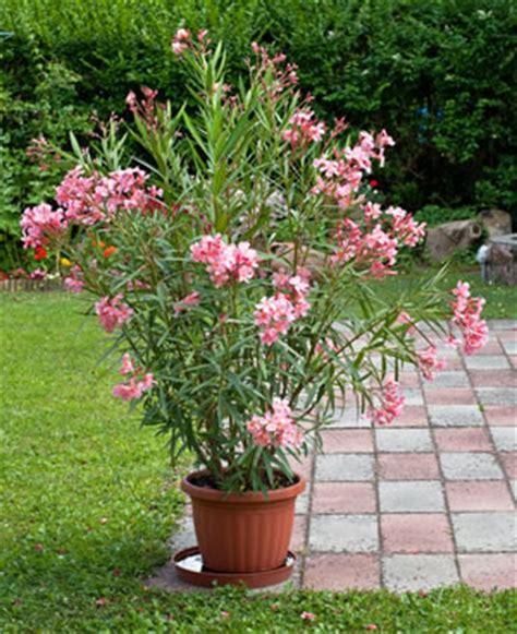 Oleander  Pflege, Schneiden, Vermehren Und Überwintern
