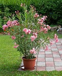 Oleander Im Winter : oleander erfolgreich berwintern ~ Orissabook.com Haus und Dekorationen