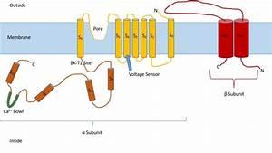 Calcium-activated Potassium Channel
