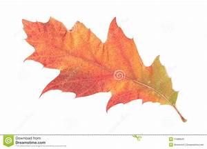 Single Autumn Leaf Stock Image - Image: 11680941