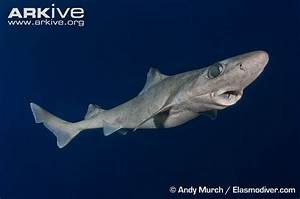 #8 Endangered Shark: Dumb Gulper Shark | SHARKS ( all ...