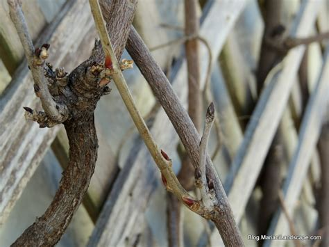 wisteria buds dormant pruning for wisteria in the garden with mariani landscape