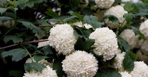 Schneeball Die Besten Sorten  Mein Schöner Garten