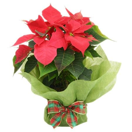 gift wrapped christmas poinsettia plant flowers for everyone