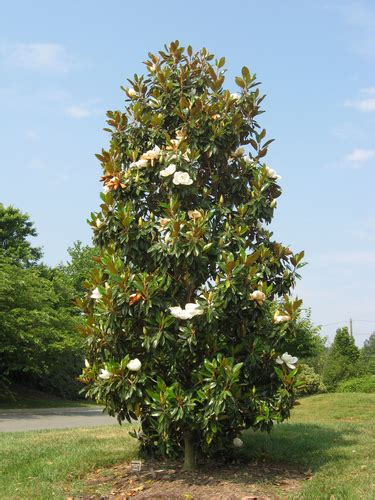 facts about magnolia trees magnolia trees facts and care fast growing trees com blog