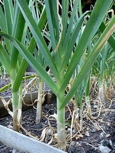 Wann Ist Knoblauch Reif : die besten 25 wann man knoblauch pflanzt ideen auf ~ Lizthompson.info Haus und Dekorationen