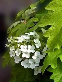 little honey hydrangea Product Viewer - Hydrangea Little-Honey