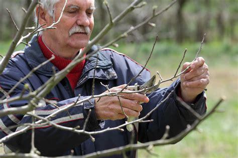 apfelbaum schneiden zeitpunkt apfelbaum schneiden 187 den richtigen zeitpunkt finden