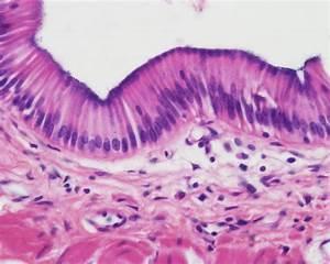 Slides: Epithelial Tissue - Anatomy & Physiology Bio 168 ...