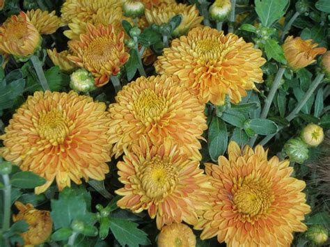 What's Doing the Blooming? Fall Blooming Mums! - Knecht's ...