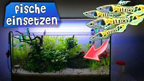 fische ins aquarium einsetzen fische sicher ins aquarium einsetzen erkl 196 rung endler guppy zucht fortschritt