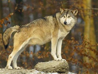 Wolf Wolves Europe Gray Lupus Standing Species