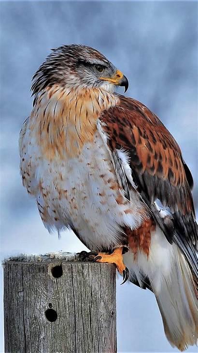 4k Hawk Snow Winter Bird Ferruginous Ultra