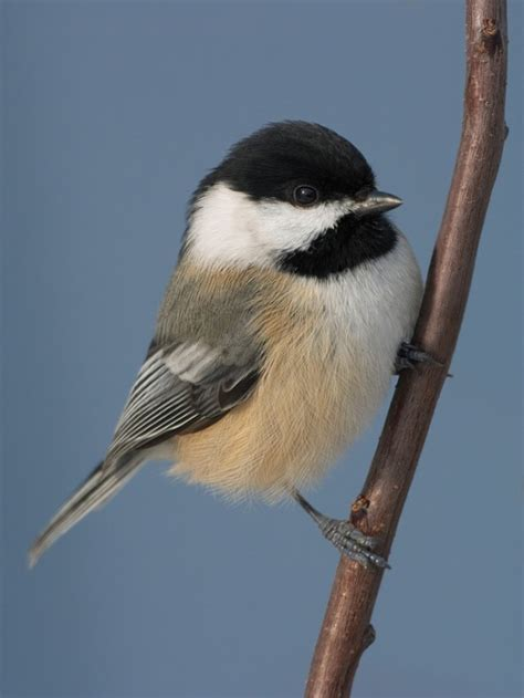 front porch coffee talk the chickadee s song says spring