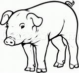 Pig Drawing Draw Step Clipart Realistic Pigs Head Hoof Easy Drawings Pot Sketch Simple Coloring Belly Animal Animals Farm Face sketch template