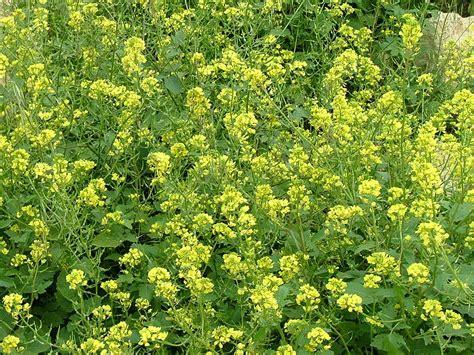 Wann Säen, Gründüngungspflanzen