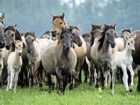 animals horse herd foals mares stallions mane hd desktop