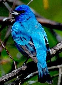 indigo buntings    increasing  geographic