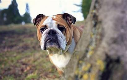 Bulldog British English Rocks