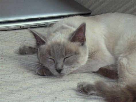 purebred cats cat breeds savannah kittentoob dog f2