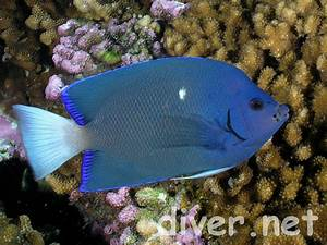 More photos of Holacanthus limbaughi, the Clipperton Angelfish