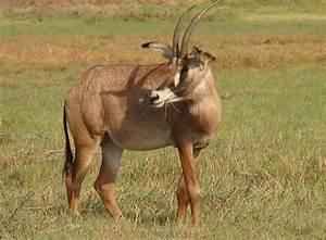 File:Roan Antelope, Kafue National Park, Zambia, Nov 2011 ...