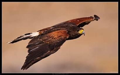 Hawk Harris Wallpapers Wildlife Fx Dx Sports