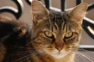 cat faces file domestic shorthaired cat jpg wikimedia commons
