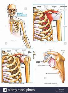 Anatomy Of The Shoulder Joint And Rotator Cuff Stock Photo