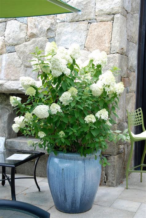care of hydrangeas in pots 7 container gardening ideas beyond summer flowers