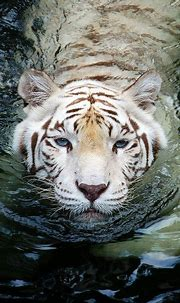 25 Best White Tiger Photographic (With images) | Animals ...