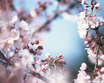 Blossom Cherry Japanese Flower Desktop Wallpapers Sakura