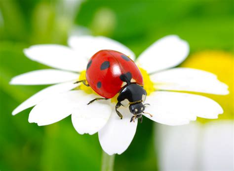 enticing ladybugs to your garden