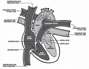 19  Heart Diagram Templates  U2013 Sample  Example  Format Download