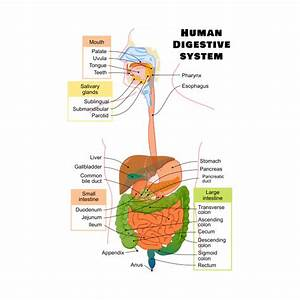 Diagram Of The Human Digestive System - Digestion