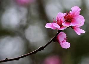 Single Cherry Blossom Photograph by Eva Thomas