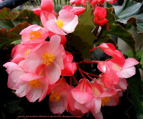 begonia flower flowers pictures angel wing begonia flower pictures