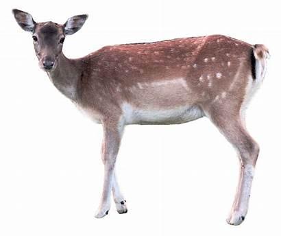 Deer Transparent Pngpix Doe Background Animal Deers