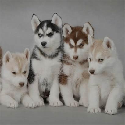 Husky Siberiano Comecar Vamos Este