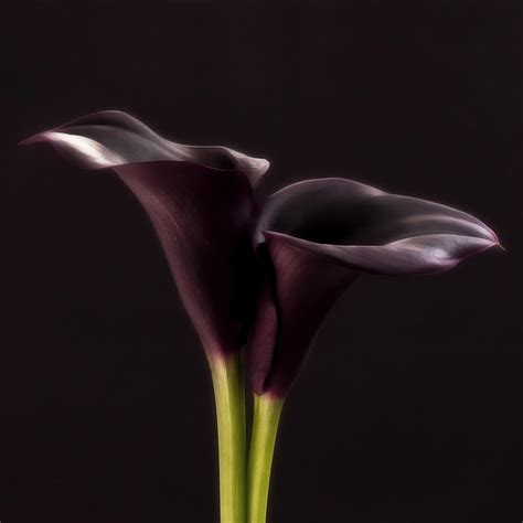 purple calla black purple calla lily photography pinterest