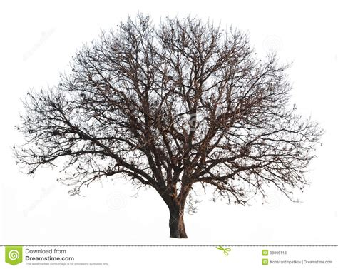 Images Of Tree Of Leafless Tree Isolated Royalty Free Stock Photos Image